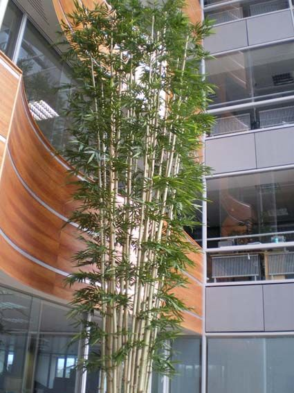 6mts Bamboo Tree