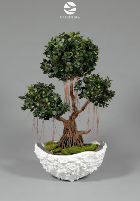 Ficus Panda - Fig Tree - Ref 565400